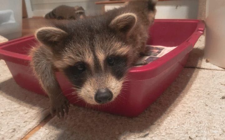 Facts on raccoons and my visit to a raccoon sanctuary.