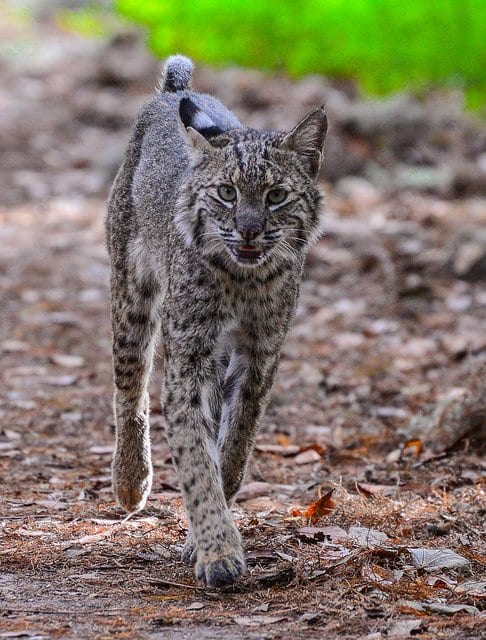 A female bobcat walking past me on a hiking trail