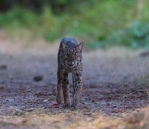 Bobcat Facts, Photos & 4K Bobcat Wildlife Videos
