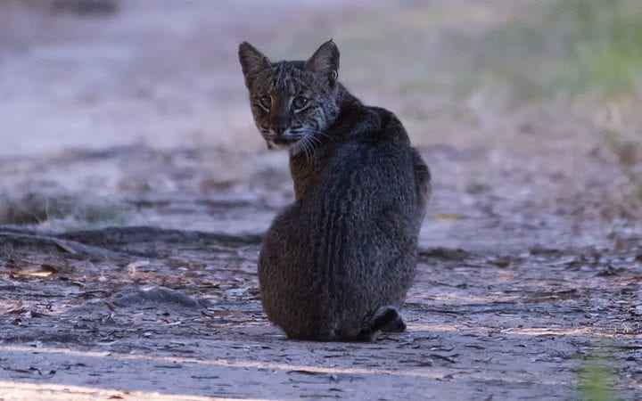 Bobcat sitting on a hiking trail lookng back at me