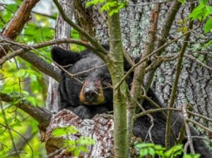 a mother black bear sleeping in a tree in shenandoah national park