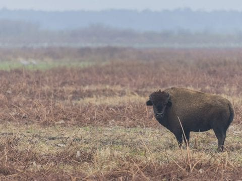 American Bison Facts and American Bison Wildlife Video
