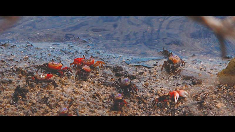 Fiddler Crab Facts & Fiddler Crab 4K Wildlife Video