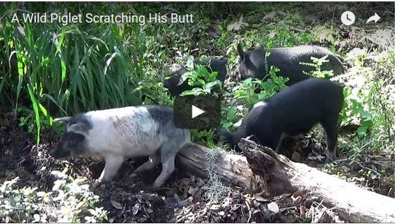 A Baby Piglet Has An Itch