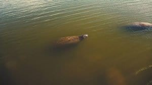 West Indian Manatee or Seacows in 4K Nature Video Cover Photo