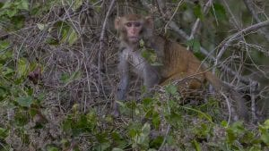 wild monkey along the silver river in florida