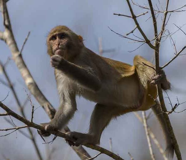 A wild monkey I saw that had climbed a tree along the Silver River in Florida.