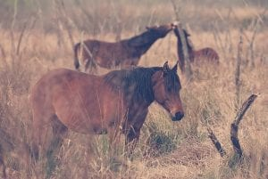 florida craker horse facts by clear landing