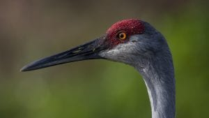 florida sandhill crane facts and wildlife video - clear landing cover photo