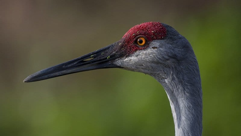 Florida Sandhill Crane Facts & Sandhill Crane Wildlife Video