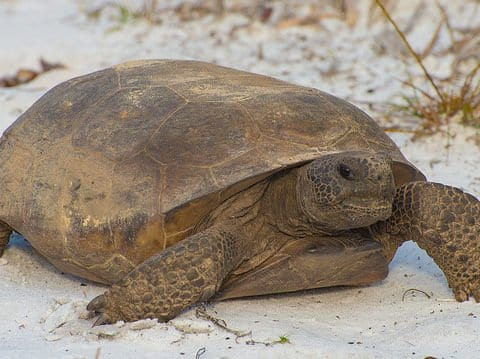 Gopher Tortoise Facts and Gopher Tortoise 4K Wildlife Video