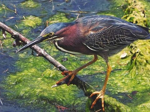 Green Heron Facts & Green Heron 4K Wildlife Video