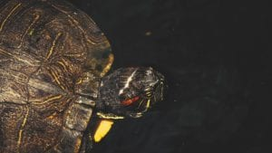 red eared slider turtle 4k wildlife video cover photo