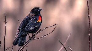 red winged blackbird facts and 4k red winged blackbird video - clear landing cover photo