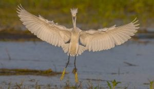 snowy egret coming in for a landing