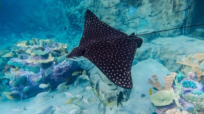 spotted eagle ray - stingrays